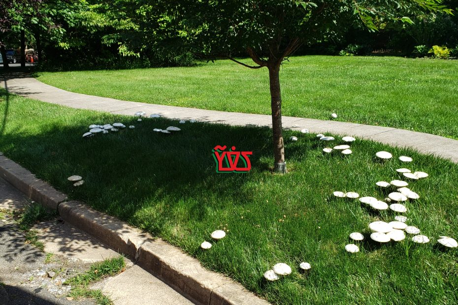 Fairy Rings of Agaricus campestris in NWDC