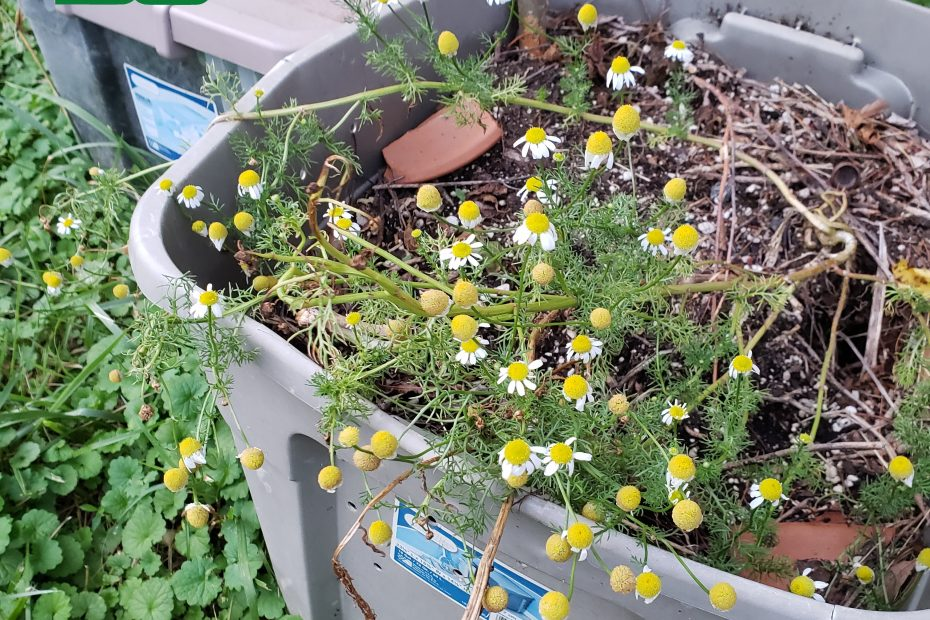 Chamomile Growing out of Compost